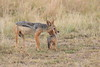 Jackal_Pups_Rekero_Mara_Reserve_2018_Kenya_0029