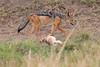 Jackal_Pups_Rekero_Mara_Reserve_2018_Kenya_0004