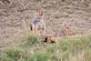 Jackal_Pups_Rekero_Mara_Reserve_2018_Kenya_0012