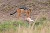 Jackal_Pups_Rekero_Mara_Reserve_2018_Kenya_0001