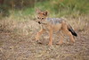 Jackal_Pups_Toy_Rekero_Mara_Reserve_2018_Kenya_0005