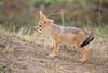 Jackal_Pups_Toy_Rekero_Mara_Reserve_2018_Kenya_0008