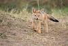 Jackal_Pups_Toy_Rekero_Mara_Reserve_2018_Kenya_0009