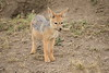 Jackal_Pups_Toy_Rekero_Mara_Reserve_2018_Kenya_0019