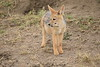 Jackal_Pups_Toy_Rekero_Mara_Reserve_2018_Kenya_0020