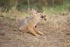 Jackal_Pups_Toy_Rekero_Mara_Reserve_2018_Kenya_0014
