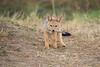 Jackal_Pups_Toy_Rekero_Mara_Reserve_2018_Kenya_0011