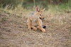 Jackal_Pups_Toy_Rekero_Mara_Reserve_2018_Kenya_0012