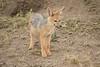 Jackal_Pups_Toy_Rekero_Mara_Reserve_2018_Kenya_0018