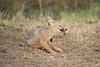 Jackal_Pups_Toy_Rekero_Mara_Reserve_2018_Kenya_0016