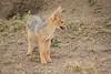 Jackal_Pups_Toy_Rekero_Mara_Reserve_2018_Kenya_0017