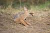 Jackal_Pups_Toy_Rekero_Mara_Reserve_2018_Kenya_0015