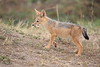 Jackal_Pups_Toy_Rekero_Mara_Reserve_2018_Kenya_0007