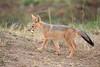 Jackal_Pups_Toy_Rekero_Mara_Reserve_2018_Kenya_0006