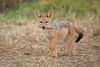 Jackal_Pups_Toy_Rekero_Mara_Reserve_2018_Kenya_0001