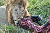 Lion Male_Eating_Tangulia_Marsh_Mara_Reserve_2018_Kenya_0160