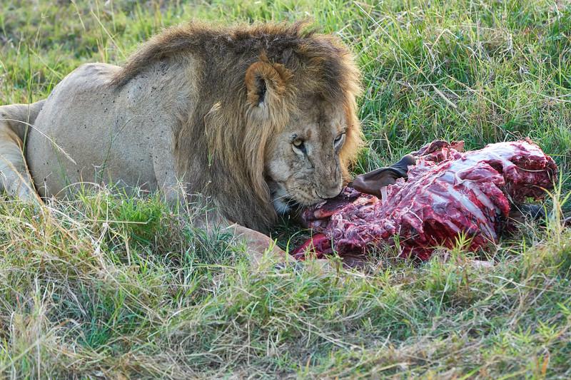 Lion Male_Eating_Tangulia_Marsh_Mara_Reserve_2018_Kenya_0136