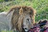 Lion Male_Eating_Tangulia_Marsh_Mara_Reserve_2018_Kenya_0163