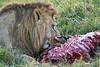 Lion Male_Eating_Tangulia_Marsh_Mara_Reserve_2018_Kenya_0138