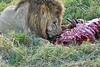 Lion Male_Eating_Tangulia_Marsh_Mara_Reserve_2018_Kenya_0137