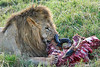Lion Male_Eating_Tangulia_Marsh_Mara_Reserve_2018_Kenya_0152