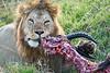 Lion Male_Eating_Tangulia_Marsh_Mara_Reserve_2018_Kenya_0162