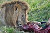 Lion Male_Eating_Tangulia_Marsh_Mara_Reserve_2018_Kenya_0164