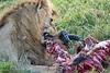 Lion Male_Eating_Tangulia_Marsh_Mara_Reserve_2018_Kenya_0154