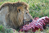Lion Male_Eating_Tangulia_Marsh_Mara_Reserve_2018_Kenya_0141