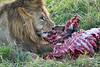 Lion Male_Eating_Tangulia_Marsh_Mara_Reserve_2018_Kenya_0144