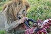 Lion Male_Eating_Tangulia_Marsh_Mara_Reserve_2018_Kenya_0155