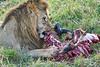 Lion Male_Eating_Tangulia_Marsh_Mara_Reserve_2018_Kenya_0147