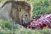 Lion Male_Eating_Tangulia_Marsh_Mara_Reserve_2018_Kenya_0140