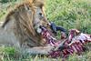 Lion Male_Eating_Tangulia_Marsh_Mara_Reserve_2018_Kenya_0149
