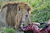Lion Male_Eating_Tangulia_Marsh_Mara_Reserve_2018_Kenya_0169