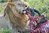 Lion Male_Eating_Tangulia_Marsh_Mara_Reserve_2018_Kenya_0145