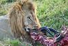 Lion Male_Eating_Tangulia_Marsh_Mara_Reserve_2018_Kenya_0158