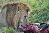Lion Male_Eating_Tangulia_Marsh_Mara_Reserve_2018_Kenya_0166