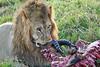 Lion Male_Eating_Tangulia_Marsh_Mara_Reserve_2018_Kenya_0157