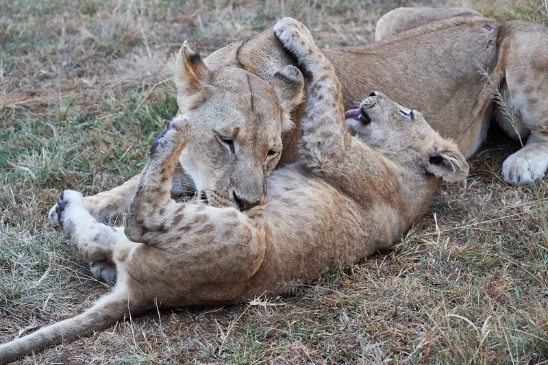 Lion _Being_Bathed_by Mom_Elephant_Pepper_MaraNorth_2018_Kenya_0001