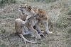 Older_Lion_Cubs_Elephant_Pepper_MaraNorth_2018_Kenya_0077