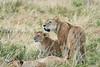 Older_Lion_Cubs_Elephant_Pepper_MaraNorth_2018_Kenya_0067