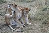 Older_Lion_Cubs_Elephant_Pepper_MaraNorth_2018_Kenya_0075