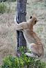 Older_Lion_Cubs_Elephant_Pepper_MaraNorth_2018_Kenya_0070