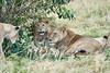 Older_Lion_Cubs_Elephant_Pepper_MaraNorth_2018_Kenya_0068