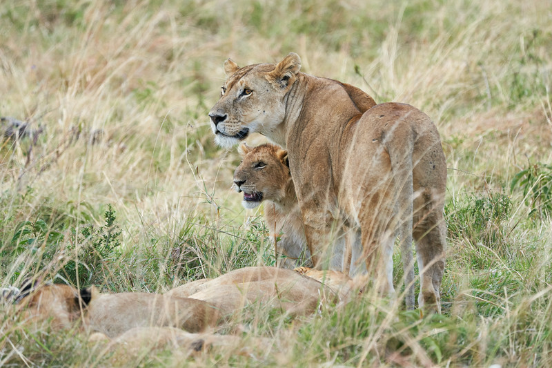 Older_Lion_Cubs_Elephant_Pepper_MaraNorth_2018_Kenya_0064