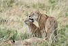 Older_Lion_Cubs_Elephant_Pepper_MaraNorth_2018_Kenya_0066