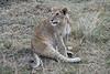 Older_Lion_Cubs_Elephant_Pepper_MaraNorth_2018_Kenya_0080