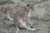 Older_Lion_Cubs_Elephant_Pepper_MaraNorth_2018_Kenya_0072