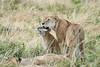 Older_Lion_Cubs_Elephant_Pepper_MaraNorth_2018_Kenya_0065